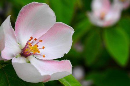 fiori meli